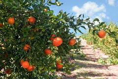 Ripe tangerines on a tree branch Stock Image