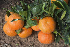 Ripe tangerines on a tree branch Royalty Free Stock Photo