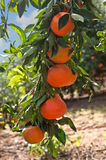 Ripe tangerines on a tree branch Royalty Free Stock Images