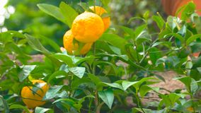 Ripe tangerines on tree branch. Green leaves and citrus fruits stock footage