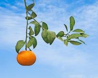 Ripe tangerines on tree Stock Photos