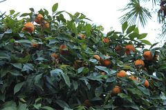 Ripe tangerines on the tree royalty free stock photos
