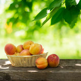 Ripe Tasty Apricots in the Basket on the Old Wooden Table Royalty Free Stock Image