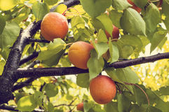 Ripe and tasty apricots grow on a branch among green leaves. Stock Photo