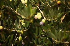 Ripe tasty olives Stock Images