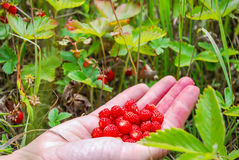 Ripe and tasty wild strawberry Stock Images