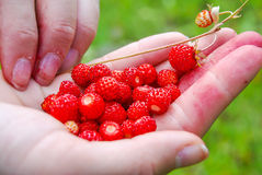 Ripe and tasty wild strawberry Stock Photos