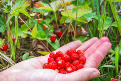 Ripe and tasty wild strawberry Royalty Free Stock Image