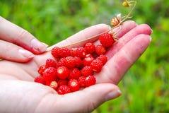 Ripe and tasty wild strawberry Royalty Free Stock Photo