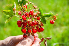 Ripe and tasty wild strawberry Stock Photos