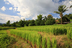 Ripe terrace rice field against blue sky Royalty Free Stock Photo