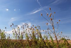 Ripe thistles. Upon a blue sky with clouds royalty free stock image