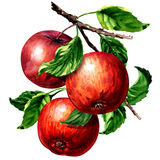Ripe three red apples with leaves on branch isolated, watercolor illustration on white Vector Illustration