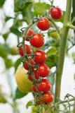 Ripe tomato on a branch. Closeup vertical Stock Photos