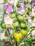 Ripe tomato on branch. Growing vegetables. Royalty Free Stock Photography