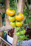 Ripe tomato on branch. Growing vegetables. Stock Image