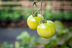 Ripe tomato on branch. Growing vegetables. Royalty Free Stock Photo