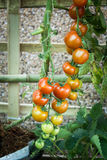 Ripe tomato on branch. Growing vegetables. Stock Photo