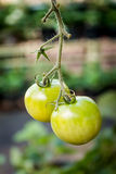 Ripe tomato on branch. Growing vegetables. Royalty Free Stock Image