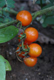 Ripe tomato. The branch of ripe tomato after raining Royalty Free Stock Images