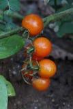 Ripe tomato Royalty Free Stock Images