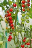 Ripe tomato on a branch. Ripe and unripe tomato on a branch Royalty Free Stock Images