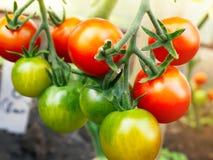 Ripe tomato cherry ready to pick, farm of tasty red tomatoes Royalty Free Stock Photos