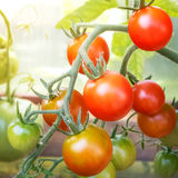 Ripe tomato cherry ready to pick, farm of tasty red tomatoes Stock Image