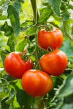 Ripe tomato cluster in greenhouse Stock Photos