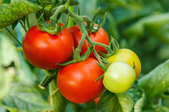 Ripe tomato cluster in greenhouse Stock Photography
