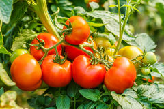Ripe tomato cluster in greenhouse Stock Images