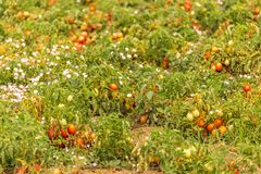 Ripe tomato fields Stock Photo