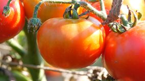 Ripe tomato fruit on the plant. Harvest of tomatoes in a garden. Ripe tomato fruit on the plant. Harvest of tomatoes in the garden stock video footage