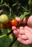 Ripe Tomato Picking Stock Photos