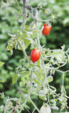Ripe Tomato Plant. Tomato Plant with two Ripe Tomatoes royalty free stock images