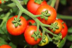 Ripe tomato plant Royalty Free Stock Photography