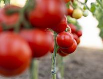 Ripe tomato plant growing in greenhouse stock images
