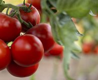 Ripe tomato plant growing in greenhouse royalty free stock images