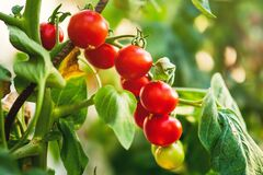 Free Ripe Tomato Plant Growing In Greenhouse. Fresh Bunch Of Red Natural Tomatoes On A Branch In Organic Vegetable Garden. Royalty Free Stock Photo - 182568365