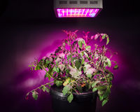 Ripe tomato plant under LED grow light. Closeup view Royalty Free Stock Photography
