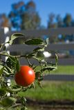 Ripe tomato on vine. Ripe Tomato still on the vine with a rural type background royalty free stock photo