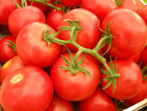 Ripe tomatoes. Closeup of ripe red tomatoes on vines Royalty Free Stock Image