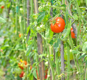 Ripe tomatoes Stock Photos