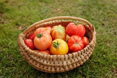 Ripe tomatoes in a basket on grass background Royalty Free Stock Image