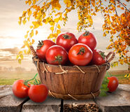Ripe tomatoes Stock Image