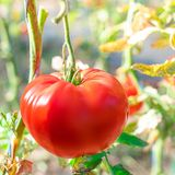 Ripe tomatoes on a branch. Red tomatoes cultivated  in the garden. Close up.  stock photos