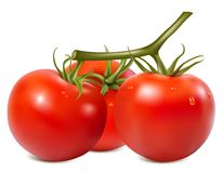 Ripe tomatoes branch with water drops Royalty Free Stock Photo