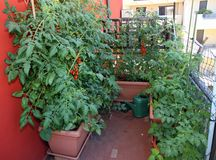 Ripe tomatoes, datterino type in an urban garden Royalty Free Stock Photos