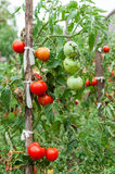 Ripe Tomatoes in the garden. Tomatoes growing in the garden. Plant stock image