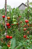 Ripe Tomatoes in the garden in summer. Tomatoes growing in the garden. Plant stock photography